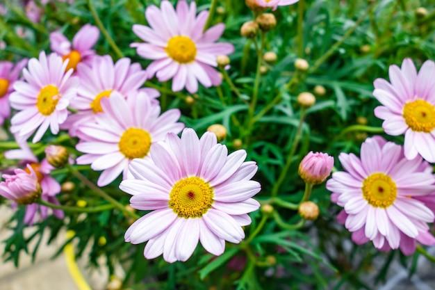Wysoki kąt strzału pięknych kwiatów marguerite daisy zrobionych w ogrodzie
