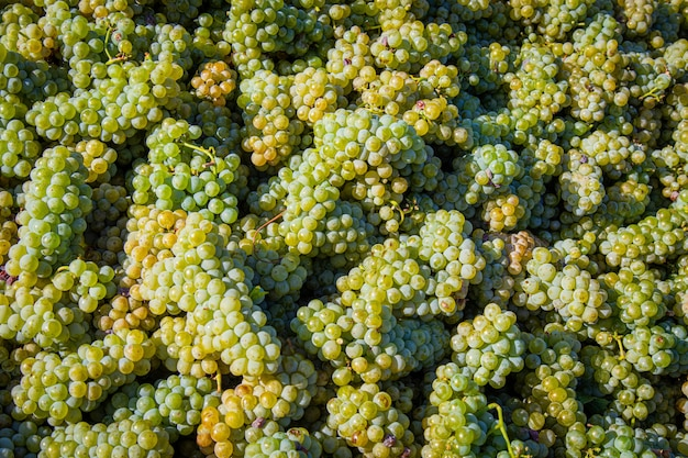 Wysoki kąt strzału stos pysznych zielonych winogron pod działaniem promieni słonecznych