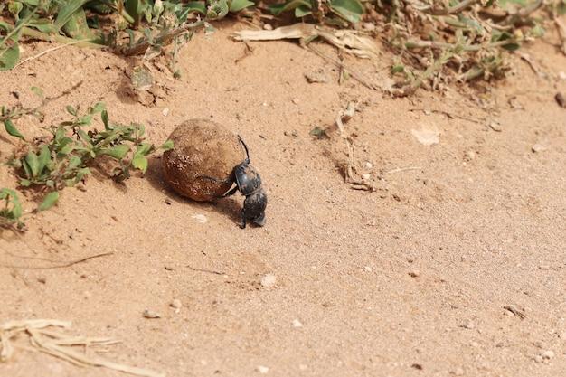 Wysoki kąt ujęcia czarnego chrząszcza gnojowego niosącego kawałek błota drogi w pobliżu roślin