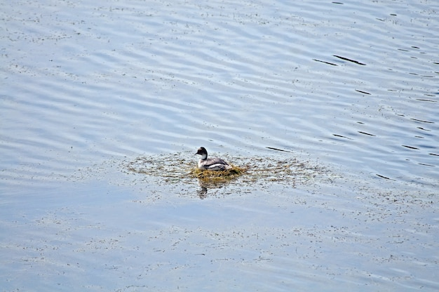 Wysoki kąt ujęcia słodkiej kaczki pływającej w