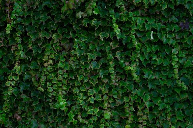 Wysoki kąt widzenia bluszczowego ogrodu w słońcu - doskonały jako tło i tapety