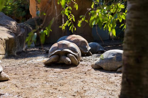 Wysoki kąt widzenia gigantyczne żółwie na polu w zoo. czas letni