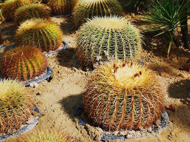 Wysoki kąt widzenia grupy doniczkowych kolczastych kaktusów globu