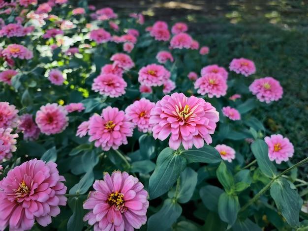 Wysoki kąt widzenia różowych kwiatów w ogrodzie