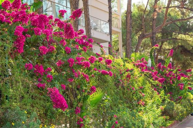 Wysoki krzew bugenwilli. kwitnący krzew, żywopłot