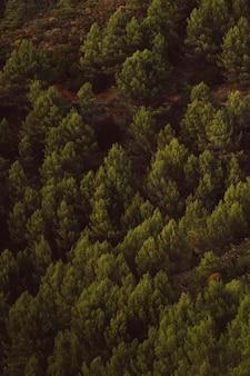 Wysoki widok strzelał wiecznozielony drzewa tło