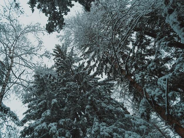 Wysokie drzewa lasu pokryte śniegiem w zimie