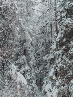 Wysokie drzewa lasu pokryte zimą grubą warstwą śniegu