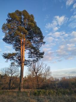 Wysokie drzewo na polu z błękitnym niebem i chmurami