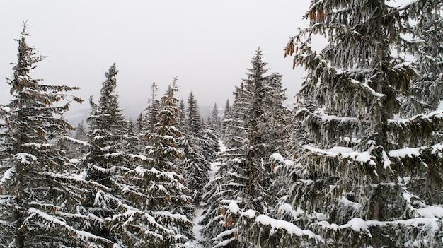 Wysokie, gęste stare świerki rosną na zaśnieżonym zboczu w górach w pochmurny zimowy mglisty dzień.