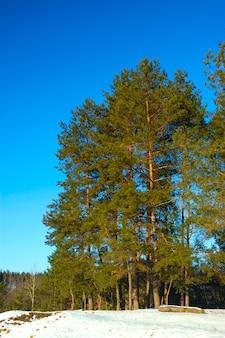 Wysokie, gładkie, ośnieżone sosny stoją na skraju lasu w zimowy dzień na błękitnym niebie