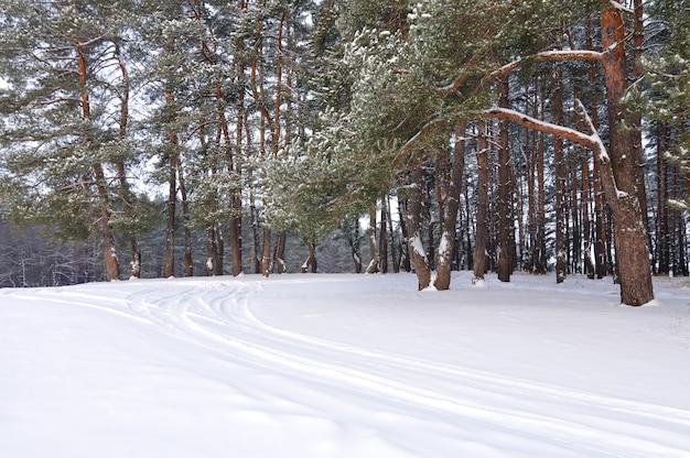 Wysokie, gładkie, ośnieżone sosny stoją na skraju lasu w zimowy dzień na scenie błękitnego nieba