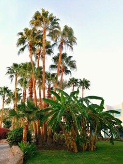 Wysokie i niskie palmy na terenie hotelu w promieniach zachodzącego słońca. widok pionowy. pojęcie wypoczynku w ciepłych krajach.