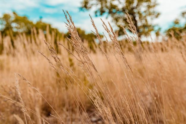 Wysokie kolce kołyszące się na wietrze na polu