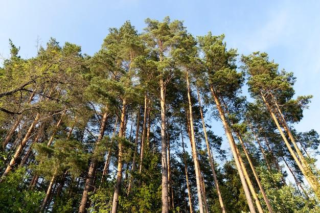 Wysokie, piękne młode sosny są fotografowane od dołu na tle błękitnego nieba w lecie