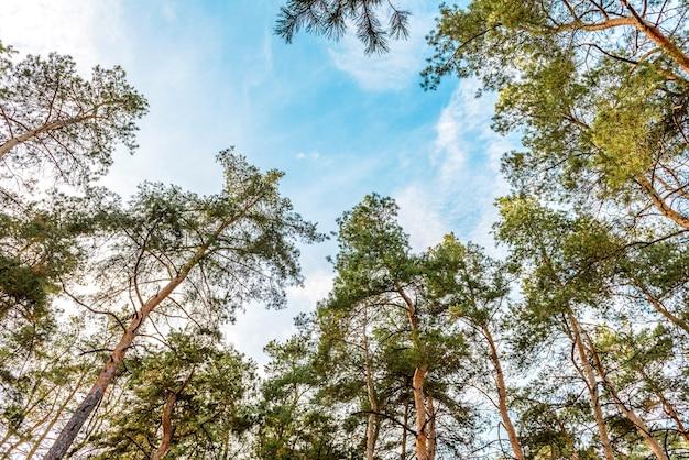 Wysokie piękne pnie sosen w lesie jesienią na tle jasnego błękitnego nieba. jesienny czas