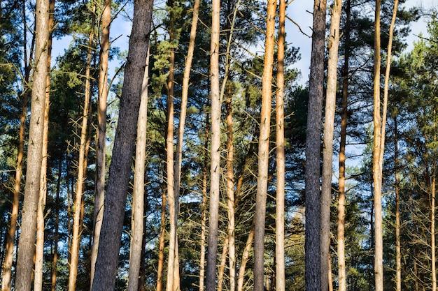 Wysokie sosny rosnące w lesie, oświetlone światłem słonecznym