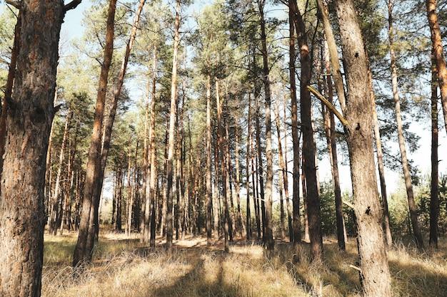 Wysokie sosny w lesie. piękny słoneczny dzień