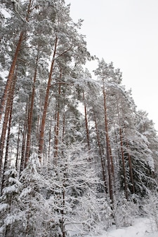 Wysokie stare sosny rosnące w lesie w sezonie zimowym. drzewa pokryte są białym śniegiem. białe niebo w tle