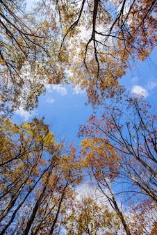 Wysokie żółte drzewa ołowiowe z niebieskim niebem