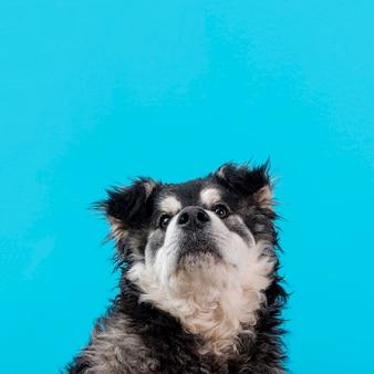 Wysokiego kąta owłosiony pies na błękitnym tle