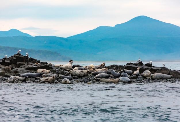 Wyspa fok na oceanie spokojnym na półwyspie kamczatka