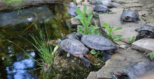 Wyspa żółwia. rodzina żółwi morskich na skałach. natura. zwierząt. fauna