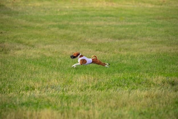 Wysportowany pies występujący podczas coursingu przynęty podczas zawodów.