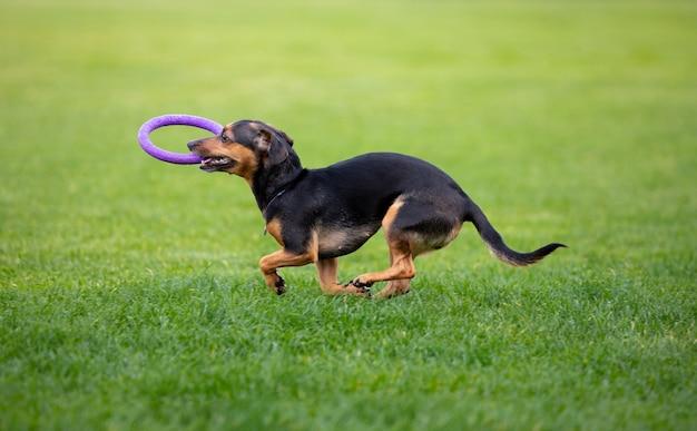 Wysportowany pies występujący podczas coursingu w zawodach