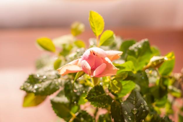 Wystrój domu kwiat róży. roślina ozdobna w doniczce kwiatowej.