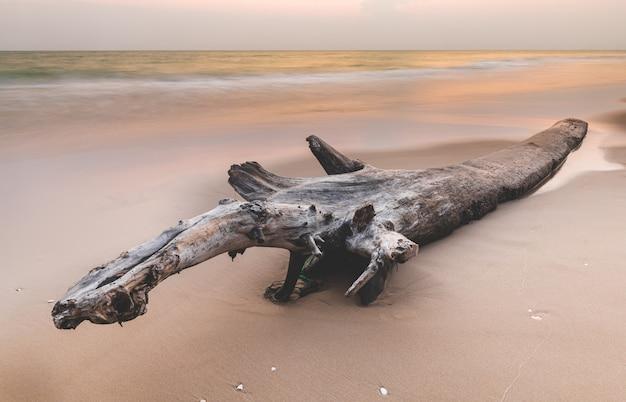 Wysuszony drzewny loguje się plażę.