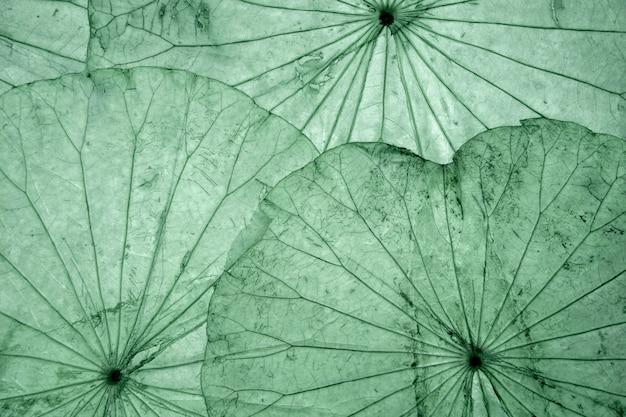 Wysuszony lotosowy liść dla tła. zielone tło.