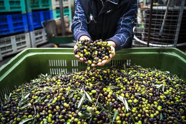 Wytwarzanie oliwy z oliwek