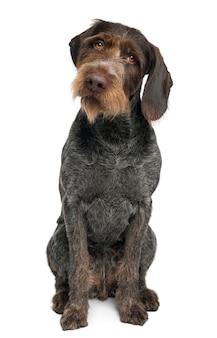 Wyżeł niemiecki krótkowłosy, 6 lat. portret psa na białym tle