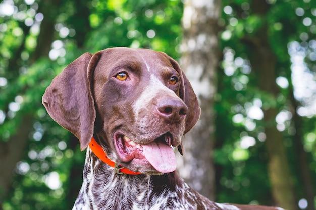 Wyżeł niemiecki krótkowłosy rasy psów z pięknym spojrzeniem, portret psa z bliska
