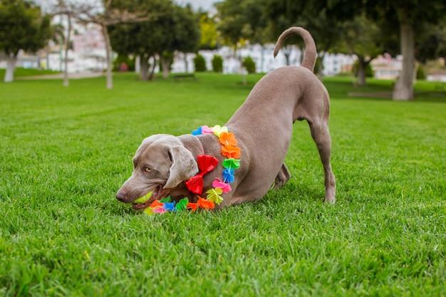 Wyżeł weimarski w parku bawi się piłką, czerwoną muszką i hawajskim kołnierzem na szyi.