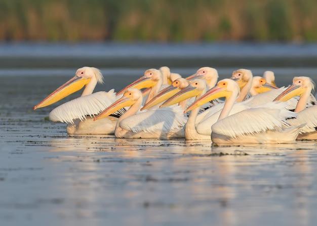 Wzdłuż jeziora pływa stado białych pelikanów w delikatnym porannym świetle.