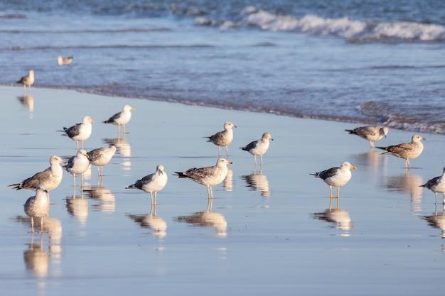 Wzdłuż plaży spacerują stada mew. na portugalskim brzegu.