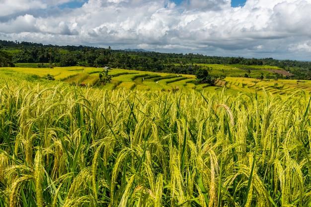 Wzgórza dojrzałych ryżowych uszu w słoneczny dzień. krajobraz tarasów ryżowych.