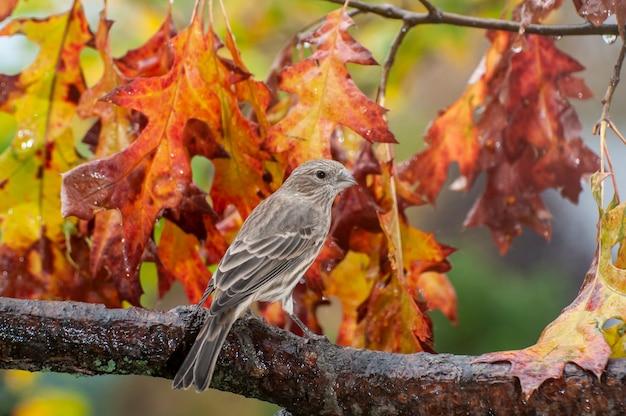 Wzgórza vadnais, minnesota. dziwonia domowa, carpodacus mexicanus, siedząca na gałęzi o pięknym jesiennym kolorze.