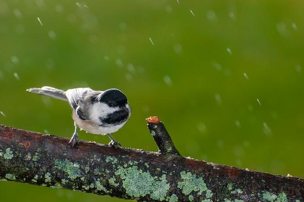 Wzgórza vadnais, minnesota. sikora czarnogłowa, poecile atricapillus w jesiennym deszczu siedzi na gałęzi pokrytej porostami.