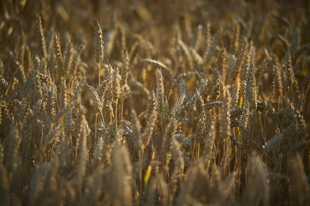 Wznawiając o zachodzie słońca zbiory zbóż we włoszech, ziarno jest teraz gotowe do zbioru.