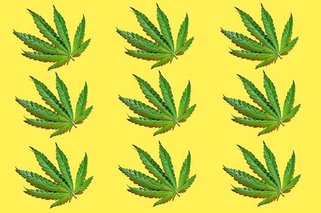 Wzór liści konopi na żółtym tle z ostrym światłem. minimalistyczny plakat z konopi