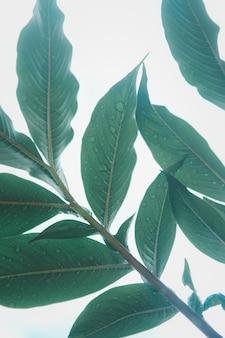 Wzór liścia (konjac) na powierzchni liścia tła w lesie.