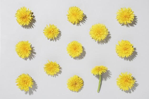Wzór z kwiatami mniszka lekarskiego na szarym tle oświetlonym światłem słonecznym. wiosenna minimalna koncepcja koncepcji i płaski układ..
