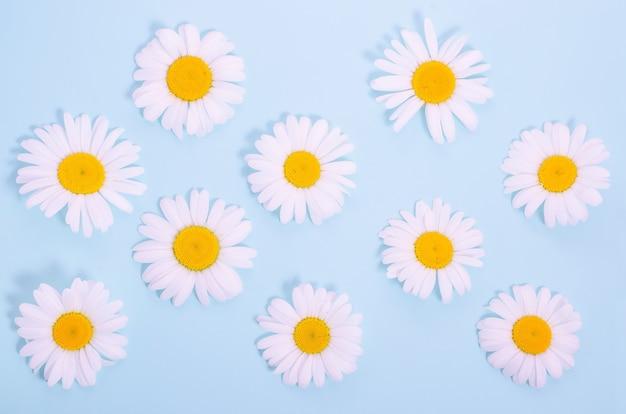 Wzór z naturalnych kwiatów rumianku na niebieskim tle