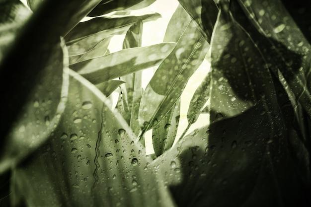 Wzór zielony liść zioła (alpinia galanga), widok przez okno w deszczowy dzień.