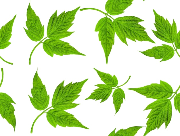 Wzór zielonych liści. liść klonu amerykańskiego (acer negundo) na białym tle