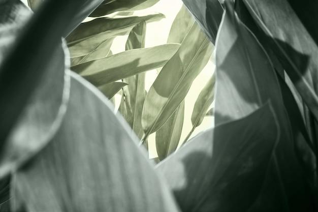 Wzór zielonych liści zioła (alpinia galanga), stonowany delikatny pastelowy kolor.