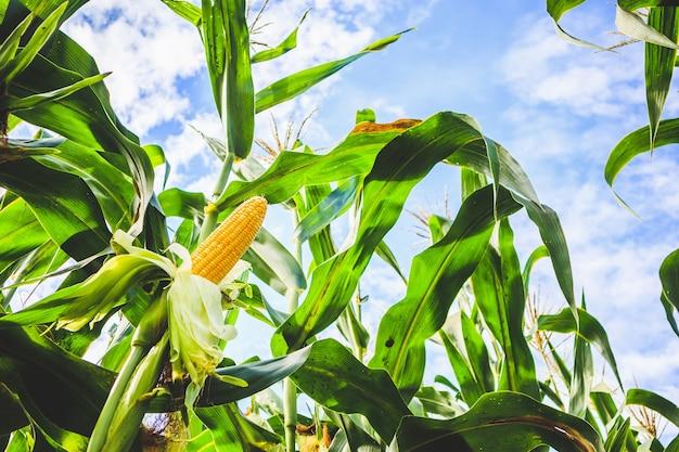 Wzrost kolb kukurydzy w dziedzinie rolnictwa